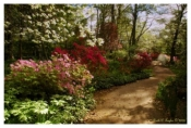 Morning Azalea Path - Sayen Gardens, NJ