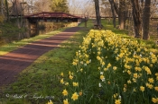 Spring Daffodils Along The Delaware Canal - Washington Crossing, PA